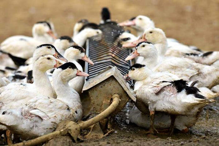 Утки в домашних условиях кормление