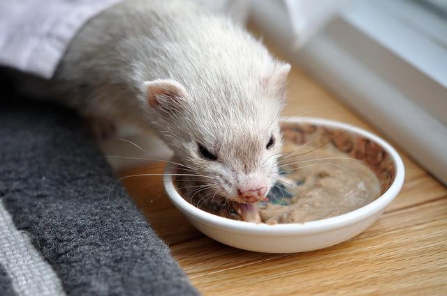 Чем кормить хорька в домашних условиях: фаршекаша, лакомства