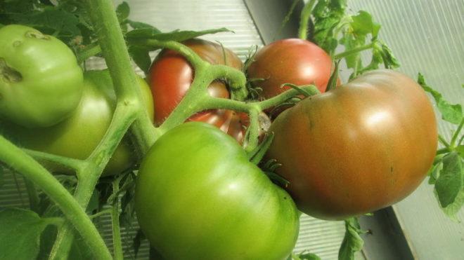 Что за сорт помидор в крыму