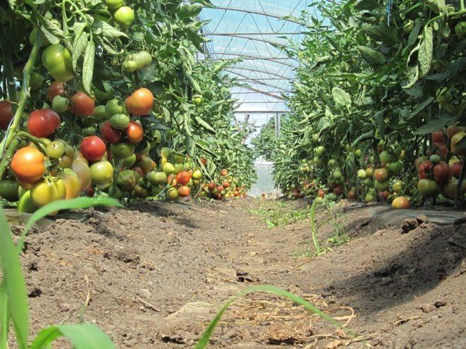 Помидоры парадайз выращивание 46