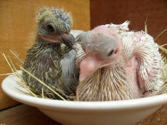 Венценосный голубь: обзор, факты, фото породы