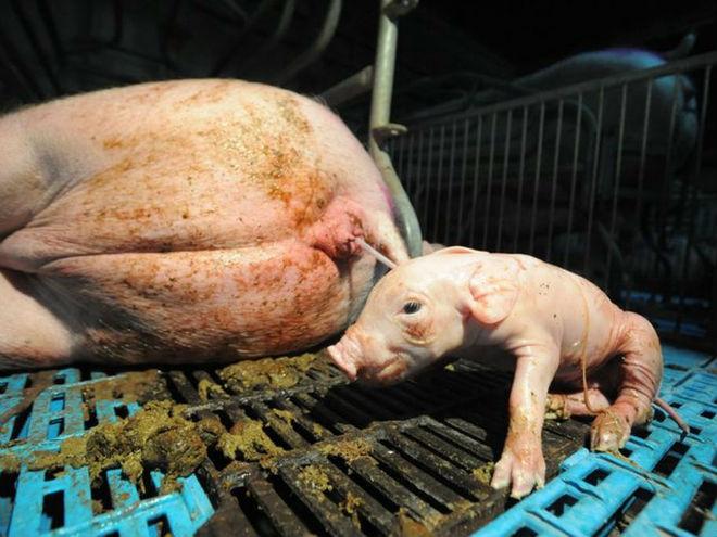 Свинья беременная во сне 72