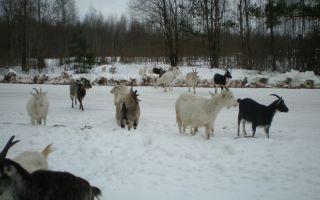 Составление рациона для кормления коз в зимнее время