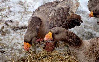 Бойцовые породы гусей и их особенности
