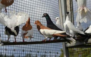 Обзор видов и пород голубей