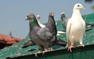 Домашние голуби: содержание и разведение
