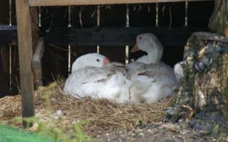Мастерим гнездо для гусей своими руками