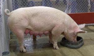 Сколько «рабочих» сосков у свиньи