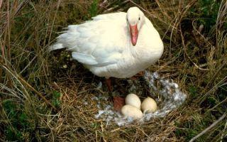 Чем полезны для человека гусиные яйца