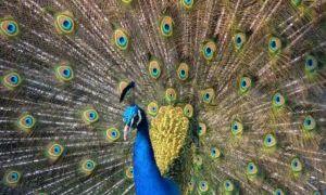 Обыкновенный павлин и другие породы