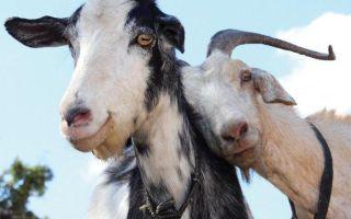 Вся информация про случку и охоту у коз