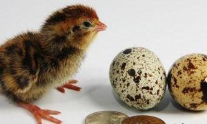 Инкубация перепелиных яиц своими руками и создание инкубатора своими руками