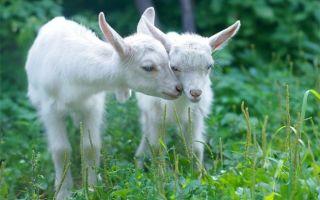 Чем кормить новорожденных козлят с первых дней их жизни