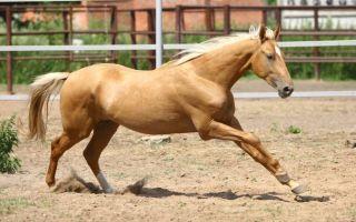 Буланая масть лошадей — воинственная и величественная