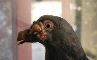 Как вылечить голубя от оспы
