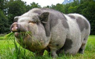 Вьетнамские свиньи — обзор породы и уход за поросятами