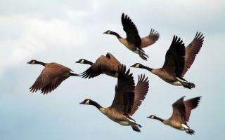 Виды диких гусей, их образ жизни и кормление