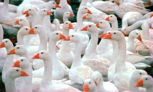 Описание и особенности итальянской породы гусей