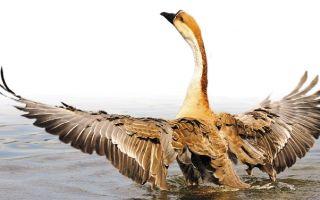 Гусь сухонос — популярная у охотников птица