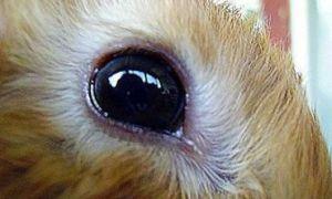 Что делать, если у кролика начали слезиться глаза