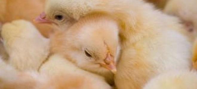 Расклев у цыплят до крови: причины поведения, профилактика и решение