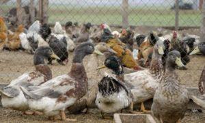 Совместное содержание уток, кур и гусей — возможно ли?