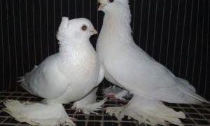 Порода бойных голубей Касаны
