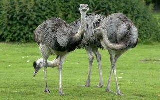 Особенности и характеристика Нанду (американский страус)
