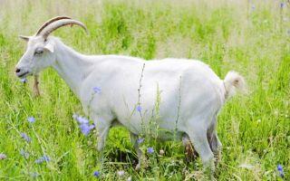 Запуск козы перед окотом: методика, правильные действия
