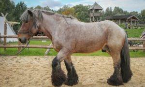 Бельгийские тяжеловозы — лошади породы Брабансон