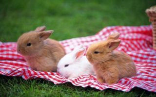 Выбор и правильное содержание декоративных кроликов