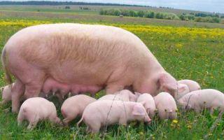 Украинская белая порода свиней