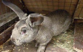 Можно ли кормить кроликов пшеницей