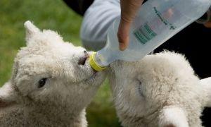 Профилактика и лечение поноса у козлят