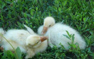 Почему гусята падают на ноги и погибают и как это предупреждать и лечить