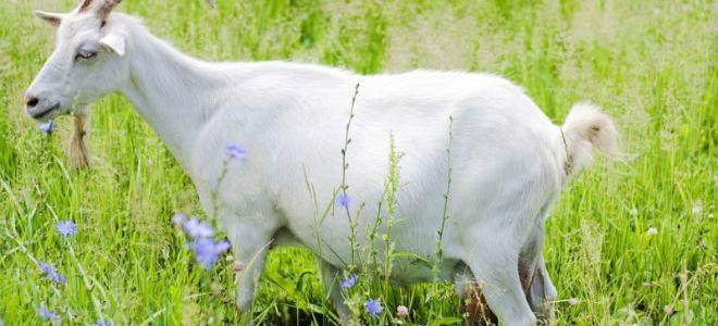 Выкидыш у козы: от чего случается и что делать после?