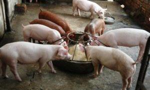 Сколько комбикорма нужно свинье для откорма на мясо