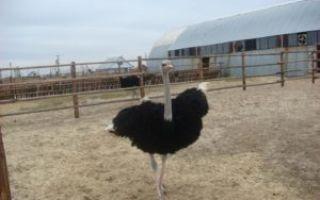 Как разводить и содержать страусов в домашних условиях