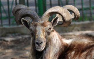Места проживания и характеристики винторогого козла