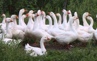 Составляем бизнес-план по разведению гусей с расчетами
