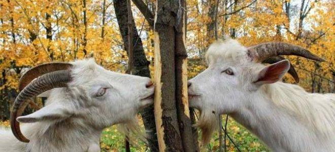 Ветки и козы — личный опыт