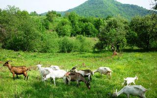 Обзор популярных пород коз