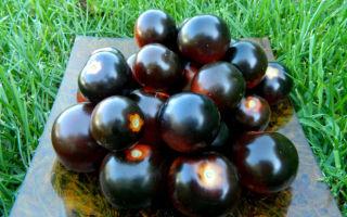 Выращивание томата «чёрная гроздь»