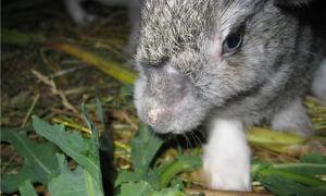 Причины выпадения шерсти у кроликов и методы решения проблемы