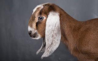 Англо-нубийская порода коз: все о содержании и разведении