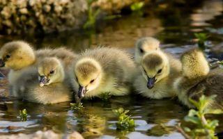 Выращивание и уход за гусятами с первых дней их жизни