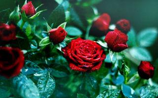 Названия и описания популярных сортов роз с фотографиями