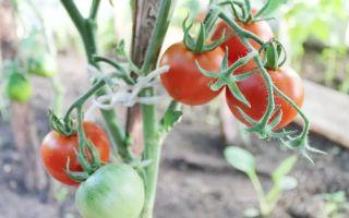 Выращивание и уход за томатом «Лабрадор»