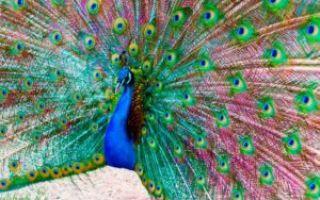 Особенности разведения и содержания павлинов