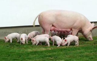 Техника и режим кормления подсосных свиноматок